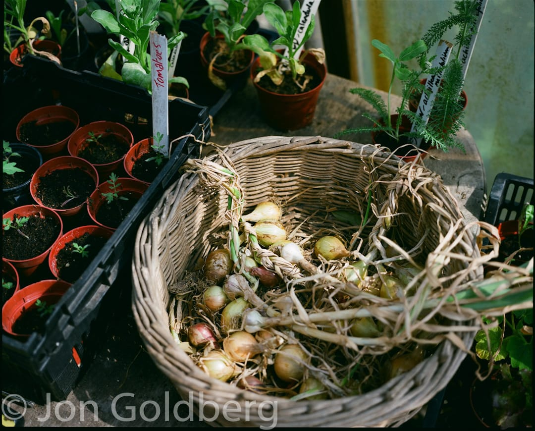 Picture shows a wicker basket of onions and young tomato plants